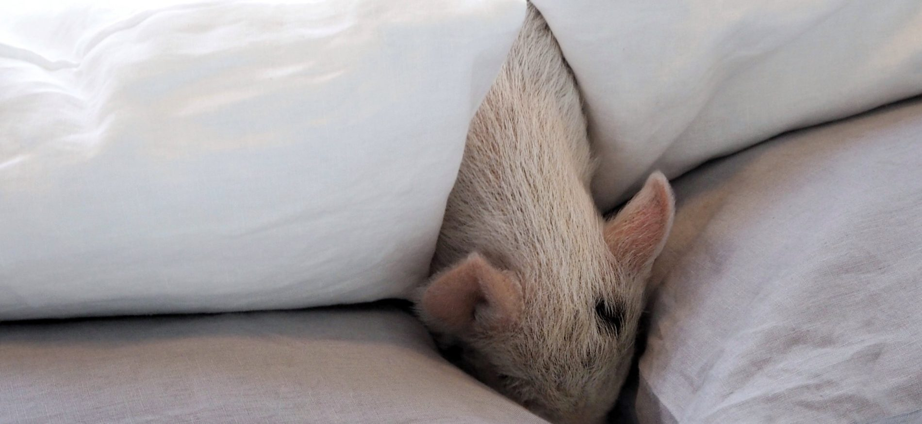 Piglets in bed