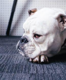 white bulldog lying down on office floor