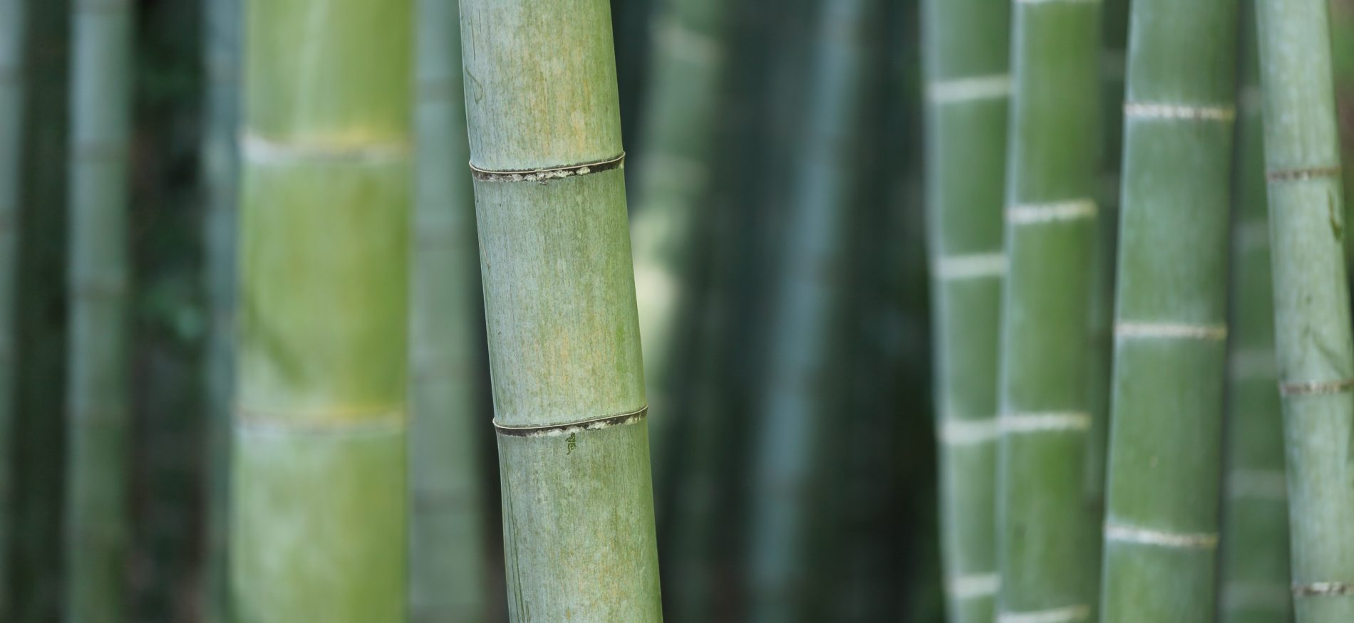 Bamboo plants - used in the production Nightire sleepwear