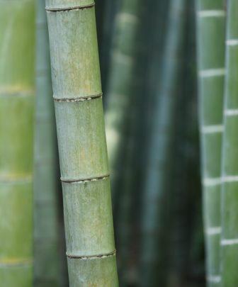 Bamboo plants - used in the production Nightire sleepwear